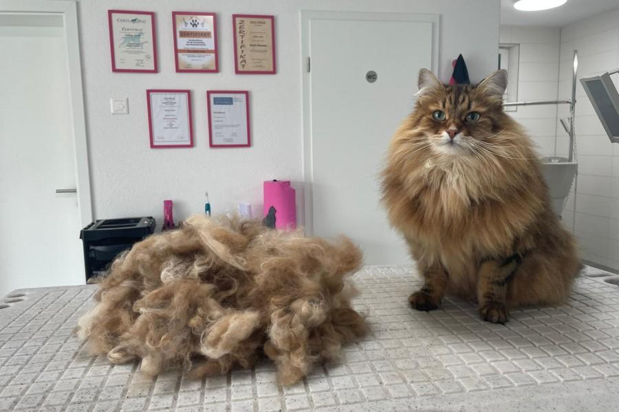 Sibirische Katze Maximus (nachher)